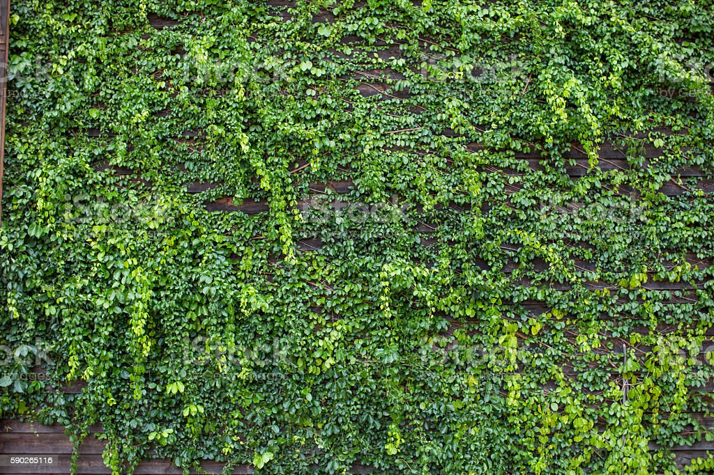 Green leaves wall background stock photo