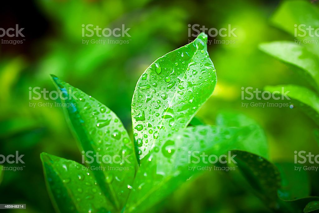 Green leaves with drops stock photo