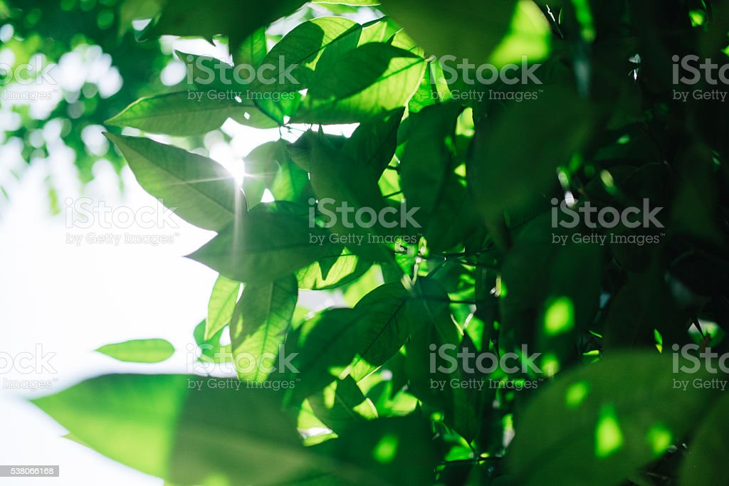 Green leaves with sunlight stock photo