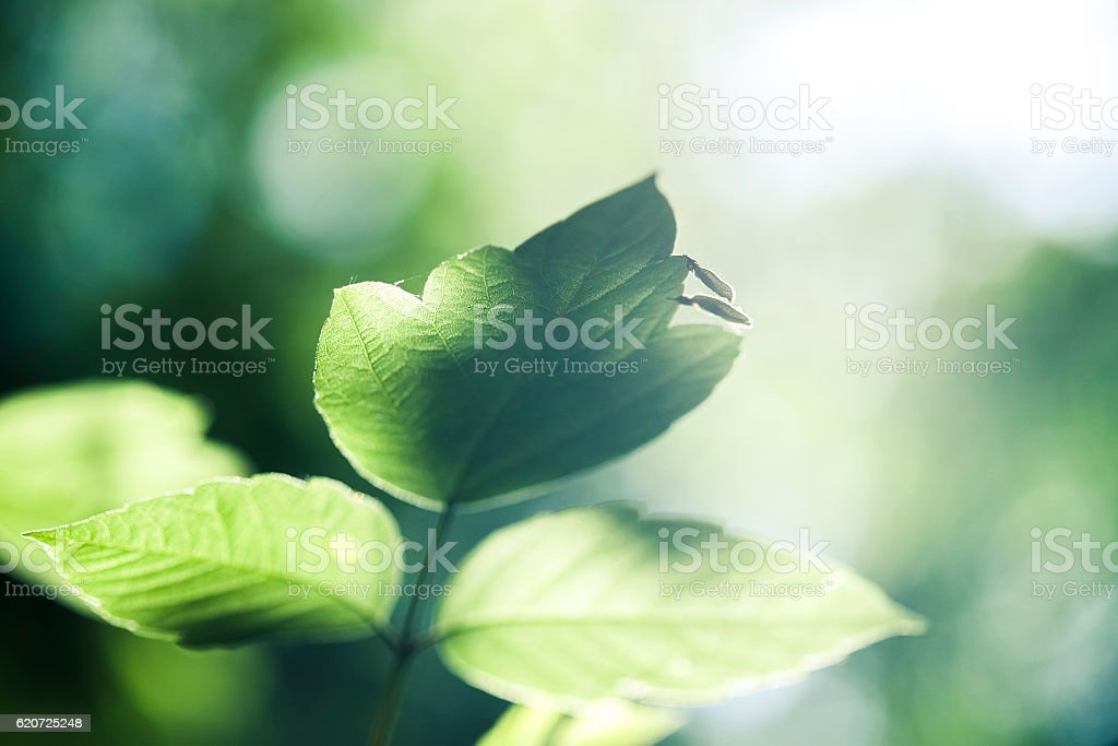 Green leaves with sunlight. stock photo