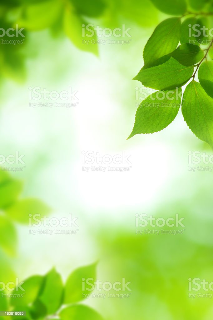 Green leaves with the sun shining through stock photo