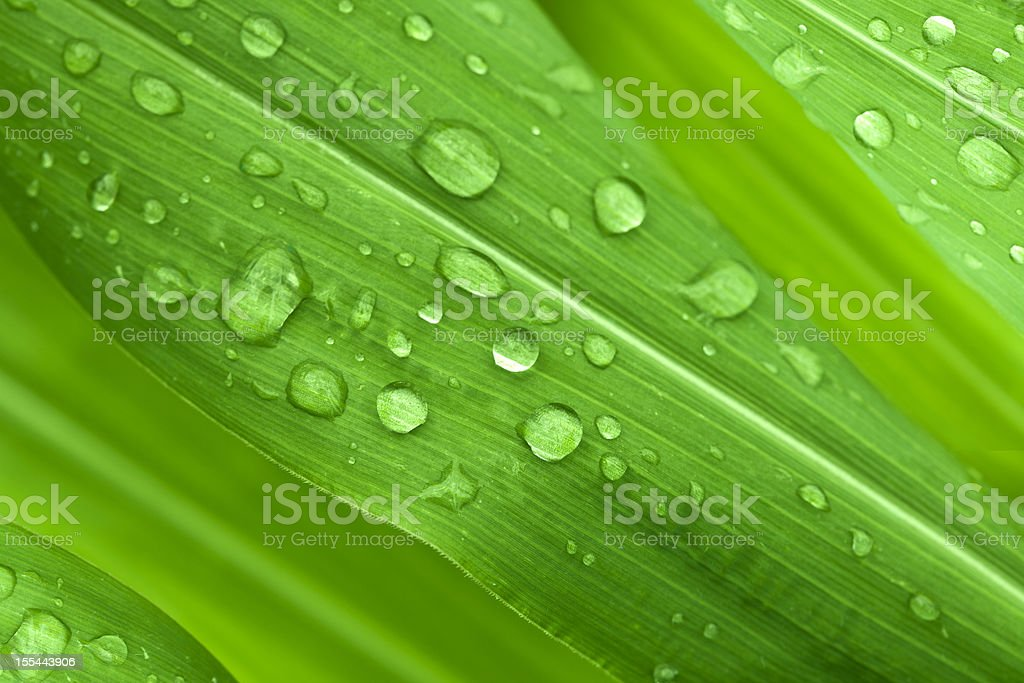 Green leaves with water droplets royalty-free stock photo