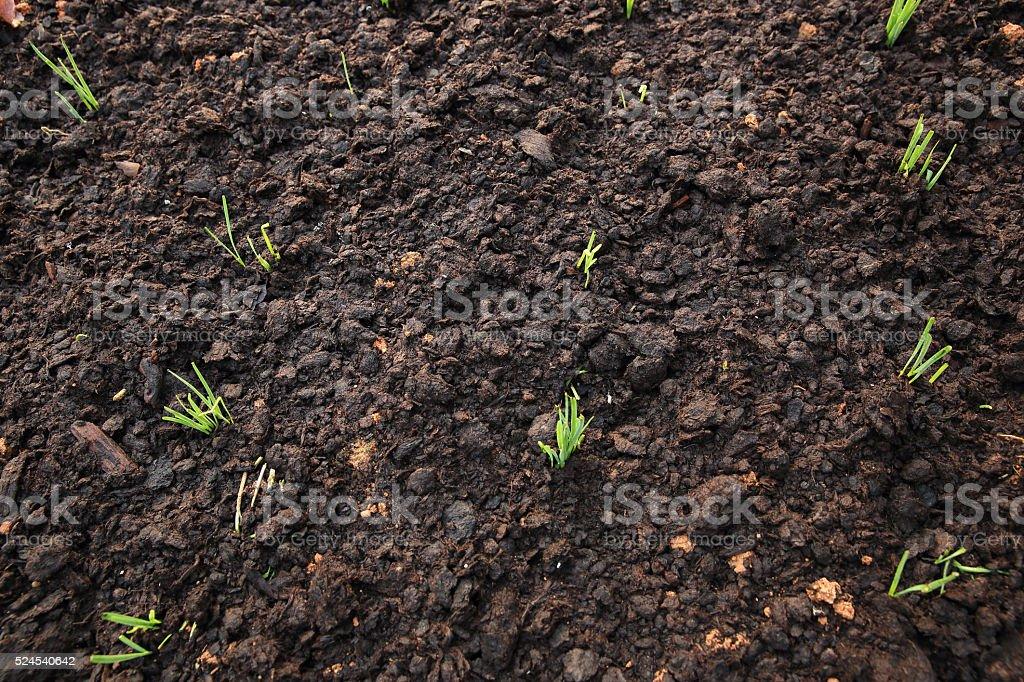 green leek plants in growth at garden stock photo