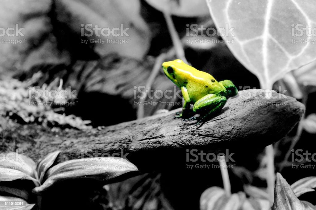 Green Legged Dart Frog stock photo