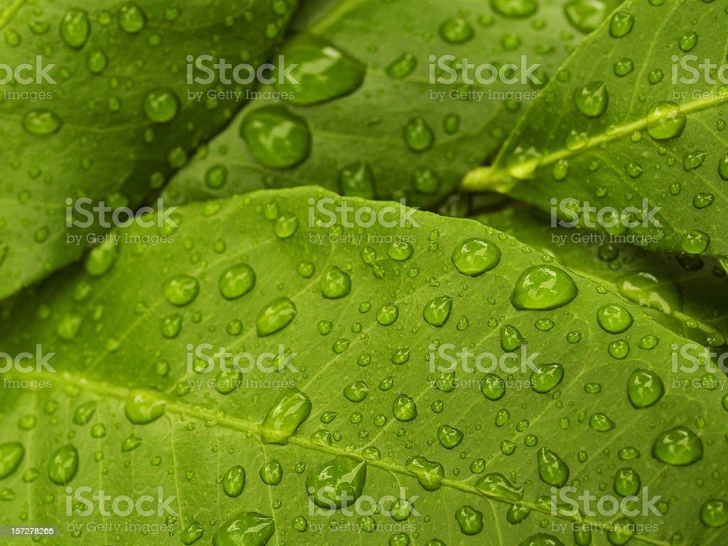 green lemon leaves royalty-free stock photo