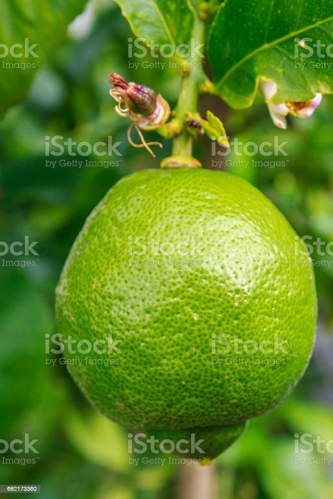 Green lemon ripening on tree stock photo