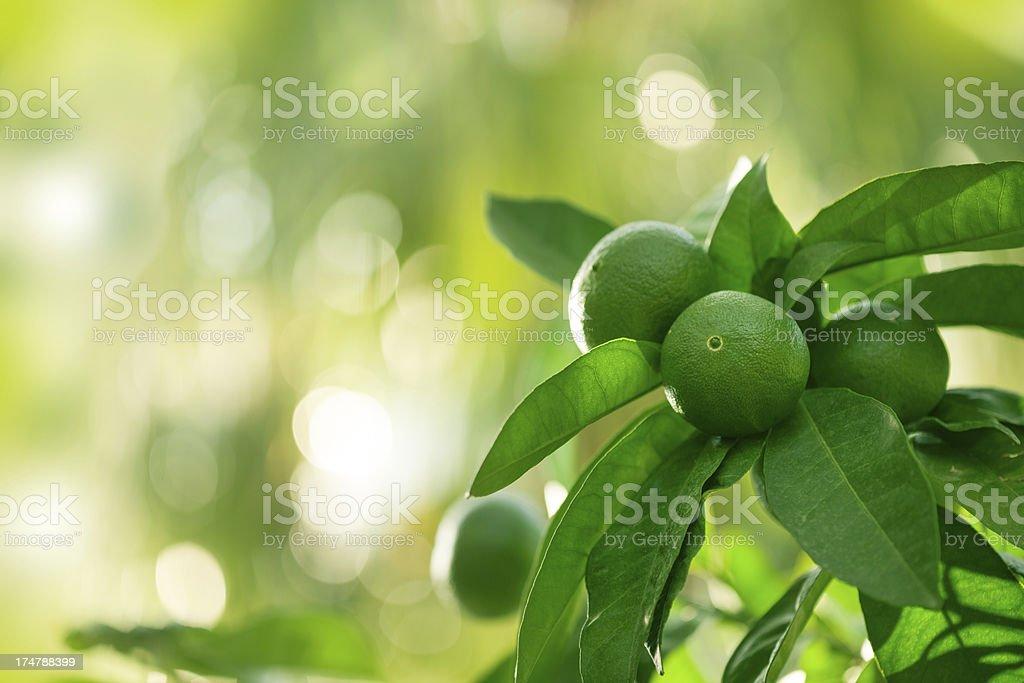 Green lemon tree stock photo