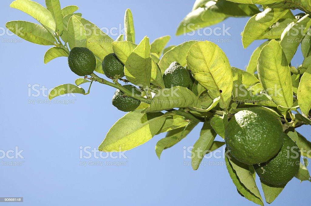 Green Lemons! royalty-free stock photo