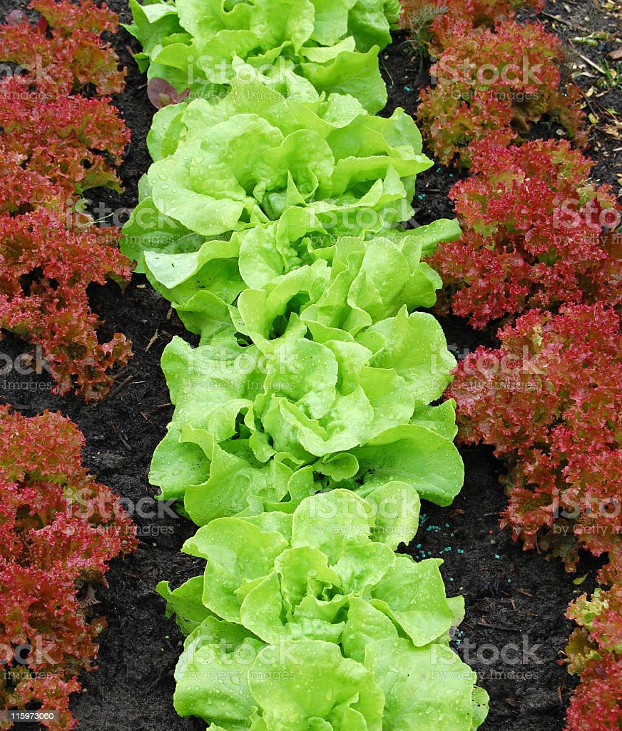 Green lettuce and lollo rossa growing in the vegetable garden. stock photo