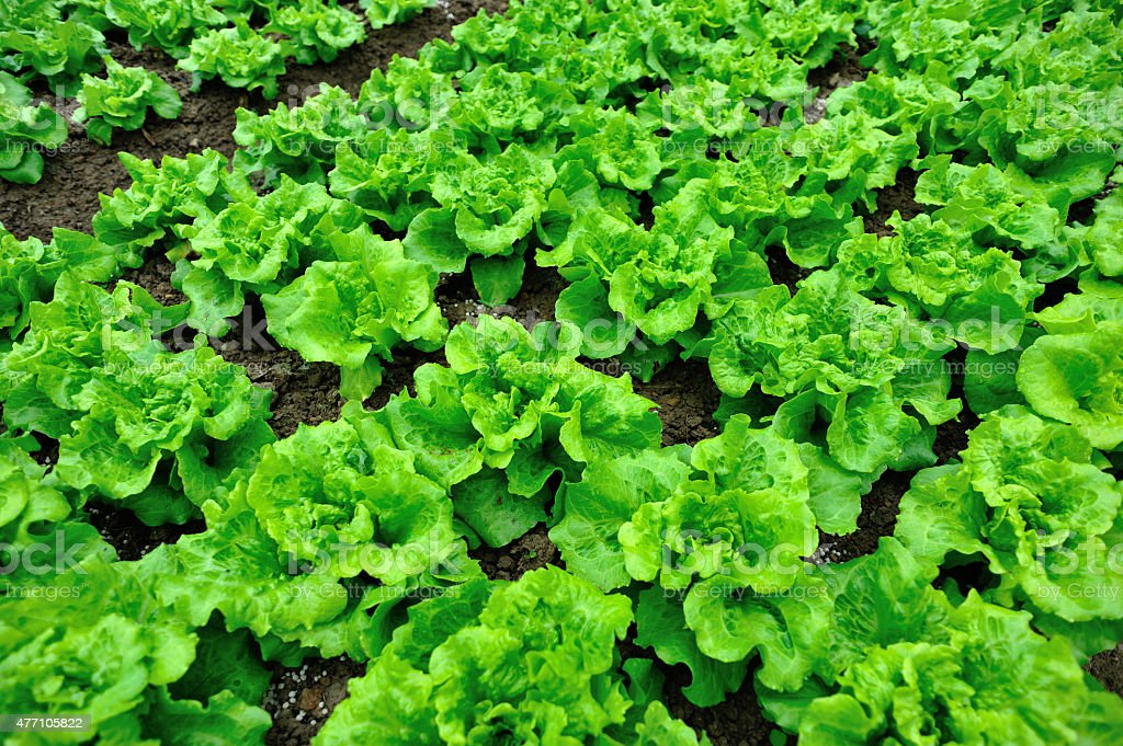 green lettuce crops in growth at vegetable garden stock photo