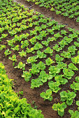 green lettuce crops in growth at vegetable garden