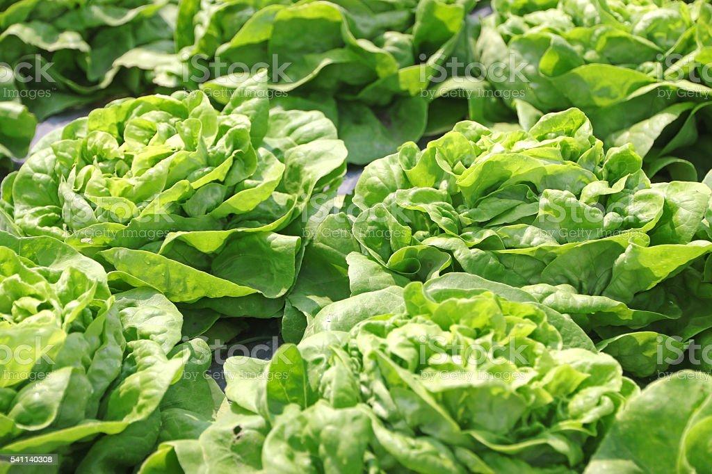 Green lettuce grown stock photo