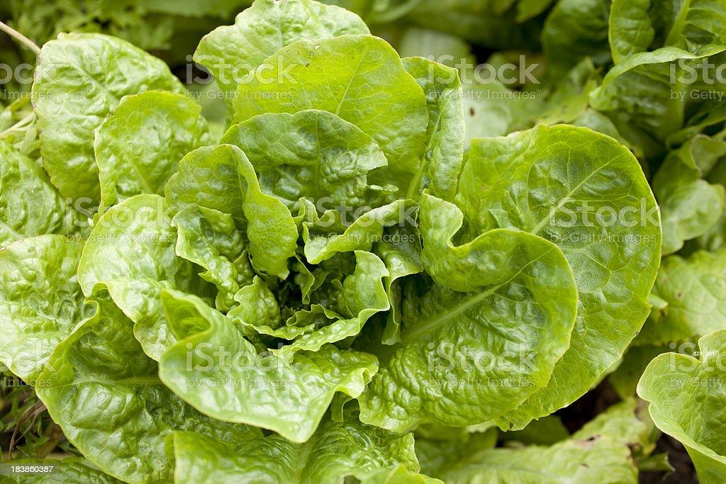 Green Lettuce in the Garden stock photo