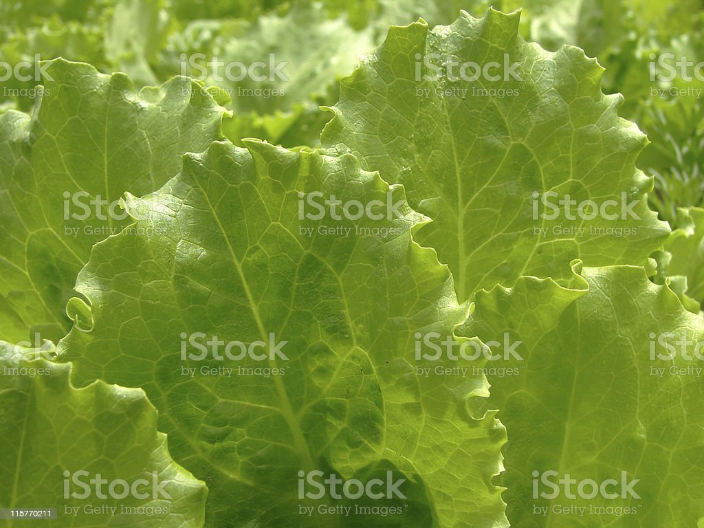 green lettuce leaves royalty-free stock photo