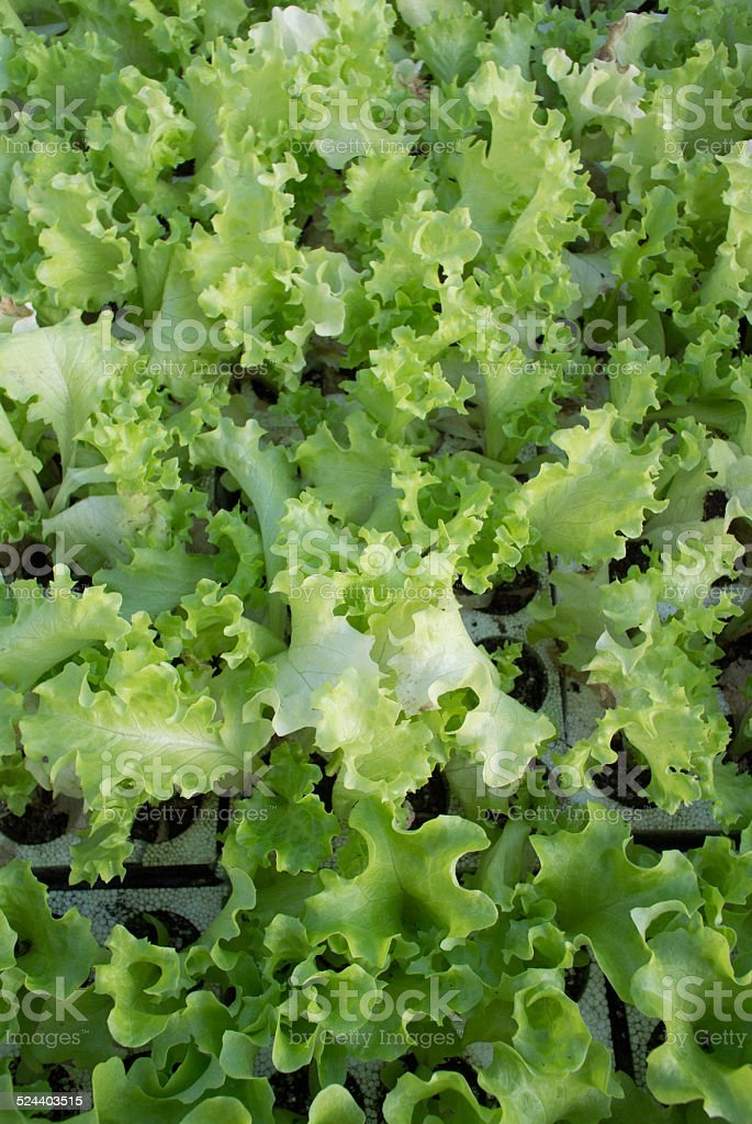 green lettuce Lollo royalty-free stock photo