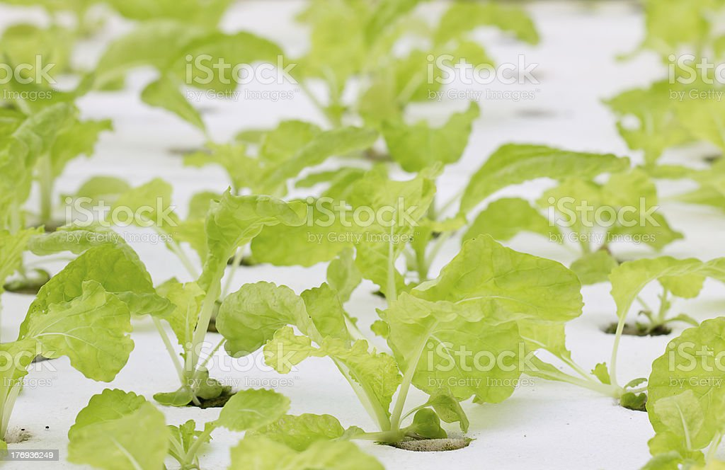 Green lettuce stock photo
