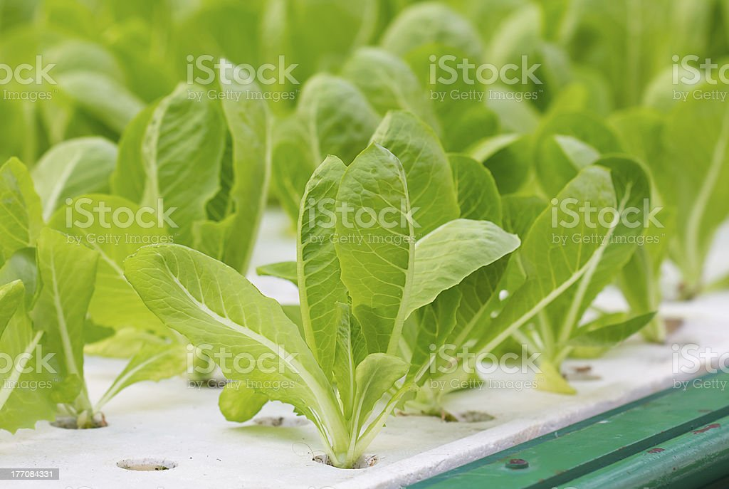 Green lettuce royalty-free stock photo