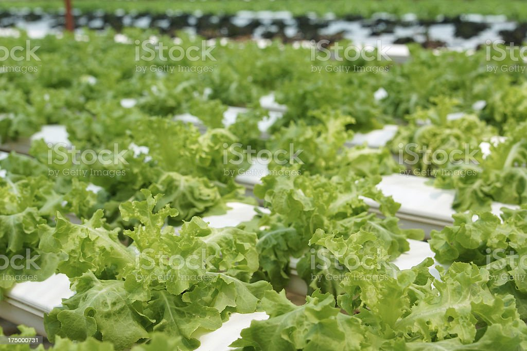 Green Lettuce Salad Hydroponics Vegetable Farm royalty-free stock photo
