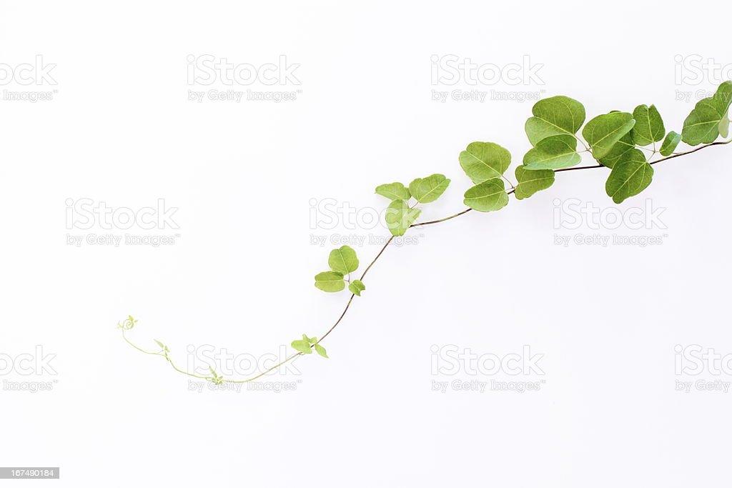 Green liana royalty-free stock photo