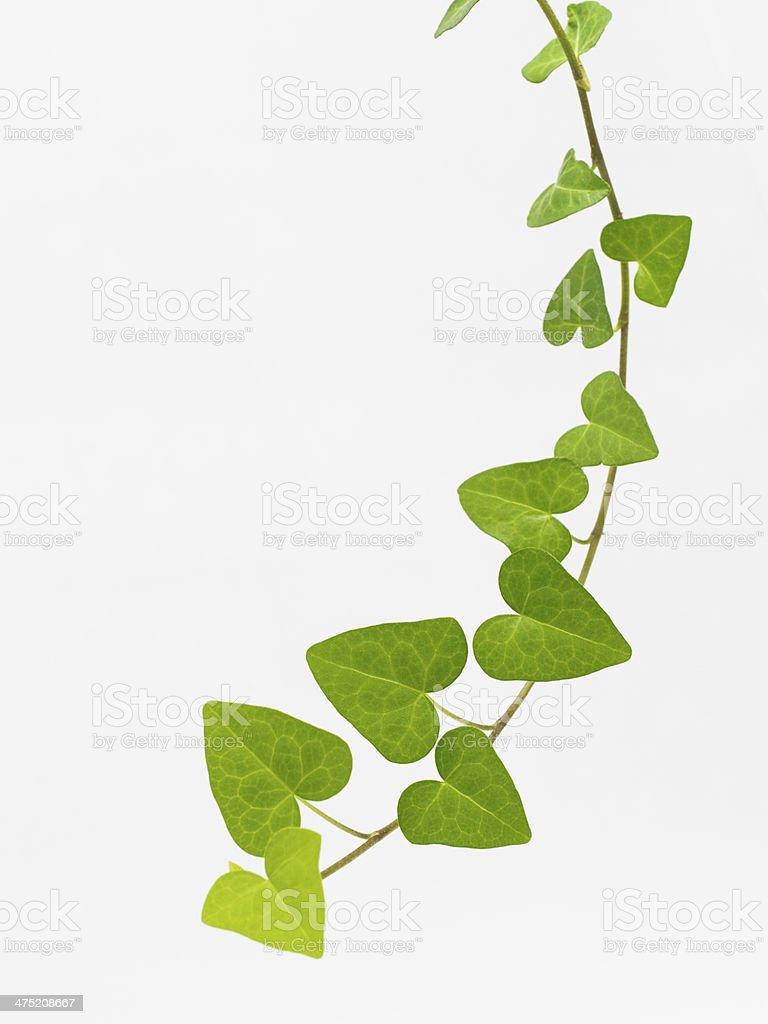 Green liana stock photo
