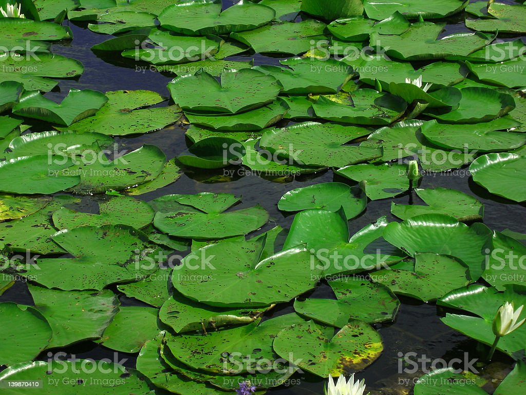 Green Lily Pads royalty-free stock photo