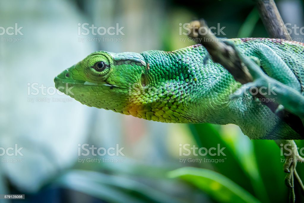 Green Lizard - Berthold's Bush Anole (Polychrus gutturosus) stock photo
