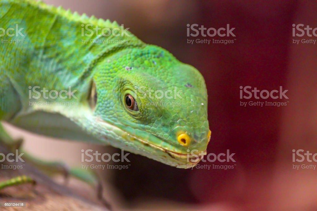 Green Lizard Close up Looking at the Camera stock photo