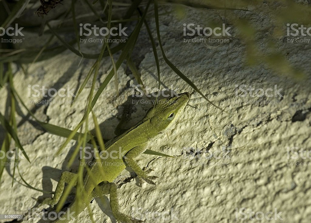 green lizard crawling from the shadows royalty-free stock photo