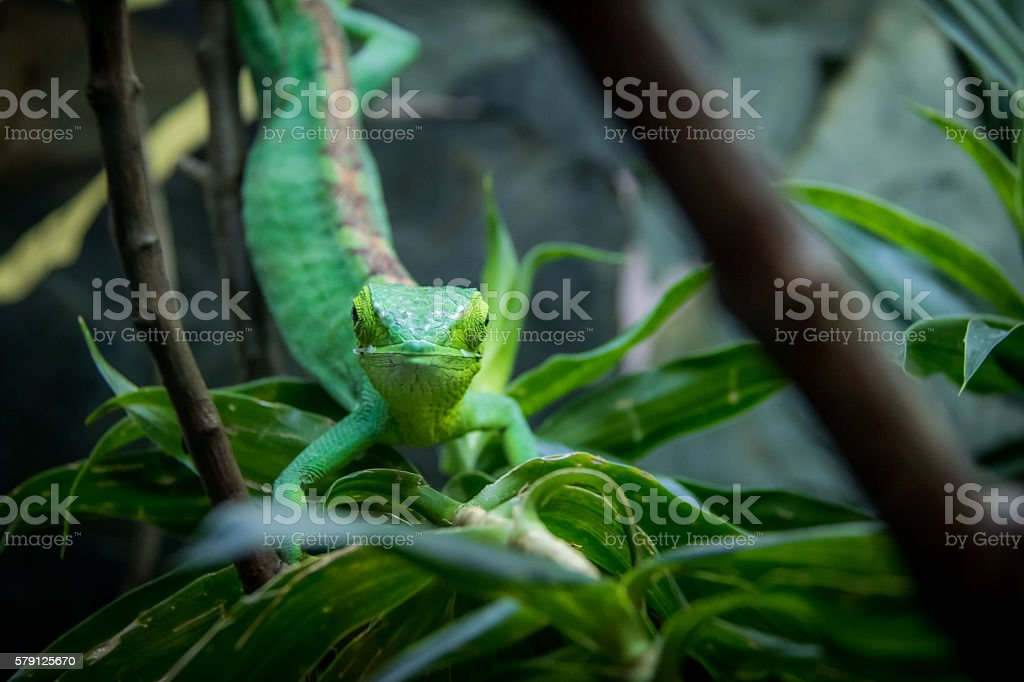 Green Lizard frontal view - Berthold's Bush Anole (Polychrus gutturosus) stock photo