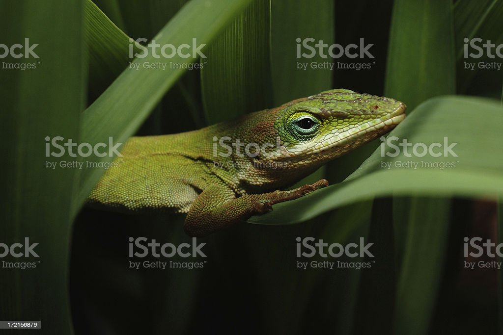 Green lizard in plant 1 royalty-free stock photo