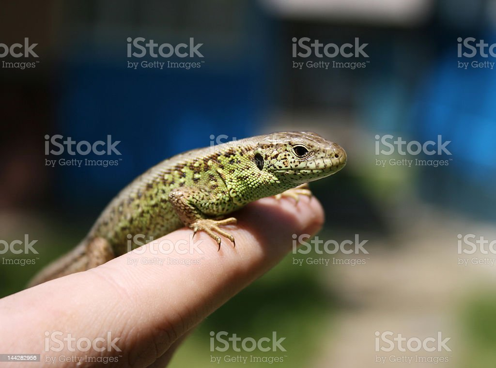 Green lizard in the hand royalty-free stock photo