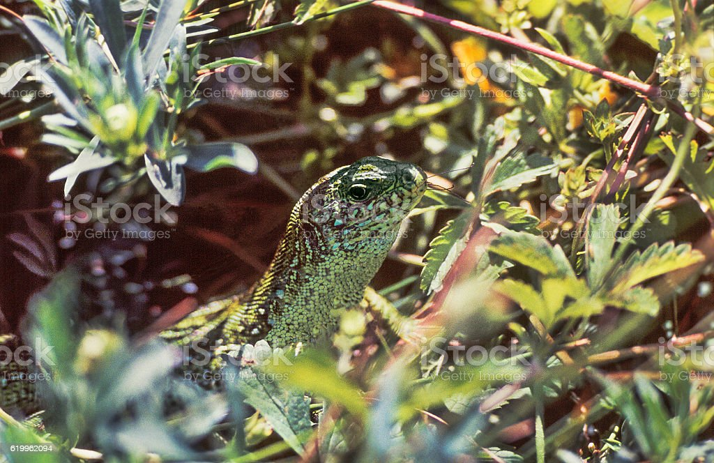 Green lizard in the steppes of the Astrakhan region. Russia stock photo