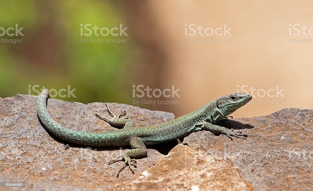 Green lizard in the sun royalty-free stock photo