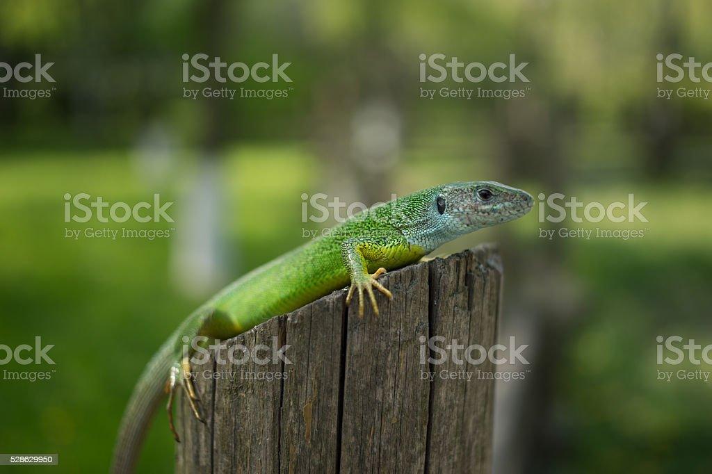 Green lizard in the wild stock photo