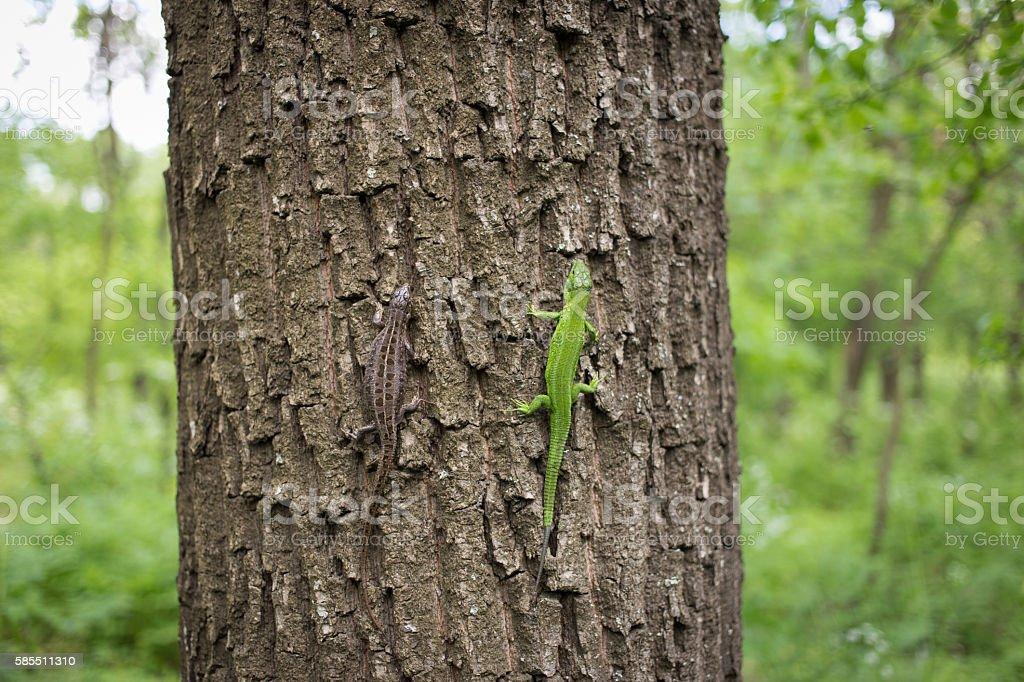 Green lizard in the wild. stock photo