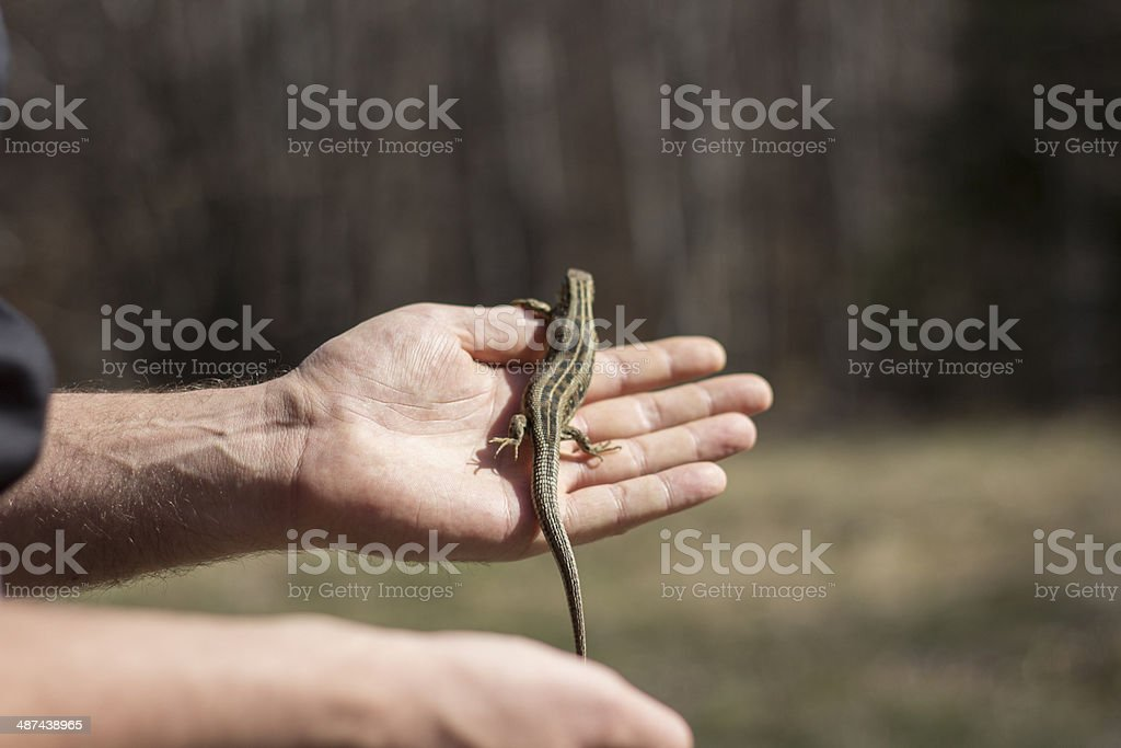 Green lizard on the hand royalty-free stock photo