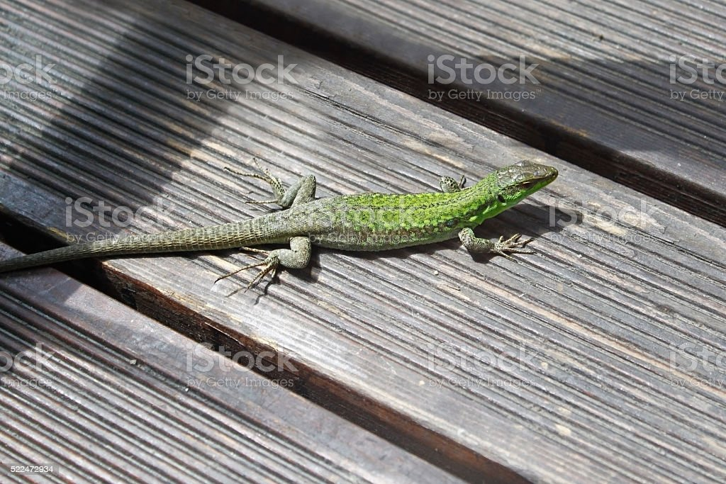 Green lizard on the wood panels stock photo