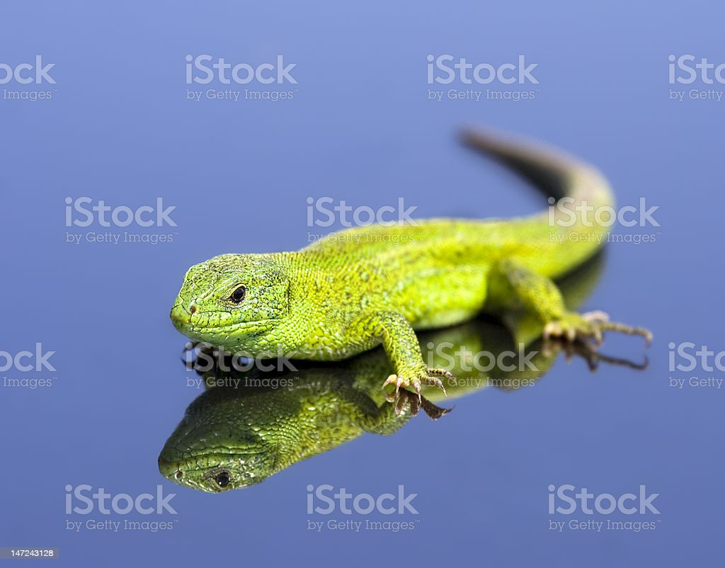Green lizard over the blue background royalty-free stock photo