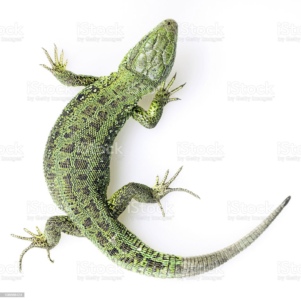 green lizard royalty-free stock photo