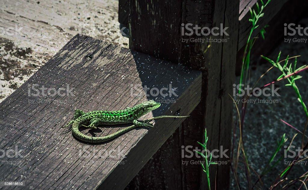 Green Lizard (Podarcis muralis) stock photo