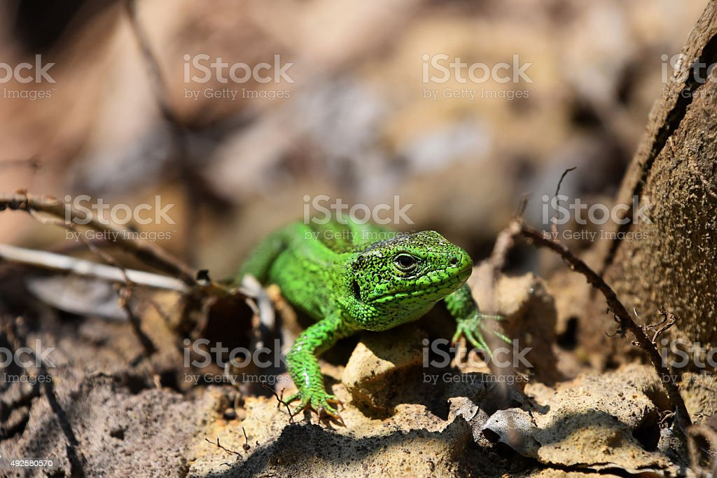 Green lizard stalking among stones, fallen leaves and twigs stock photo