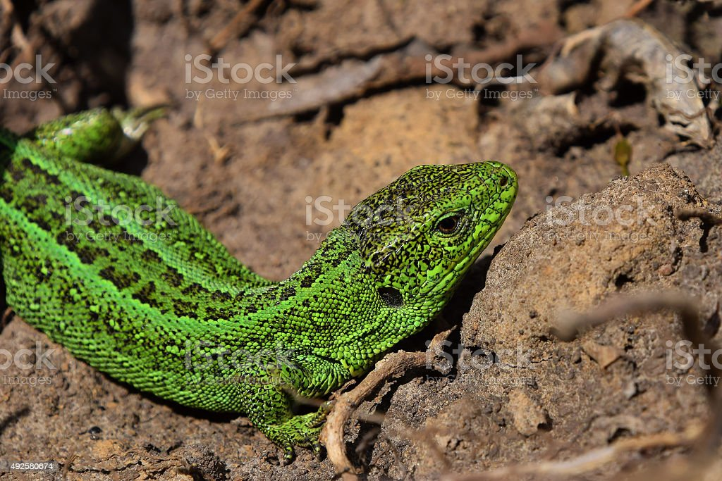 Green lizard stalking among stones, fallen leaves and twigs royalty-free stock photo