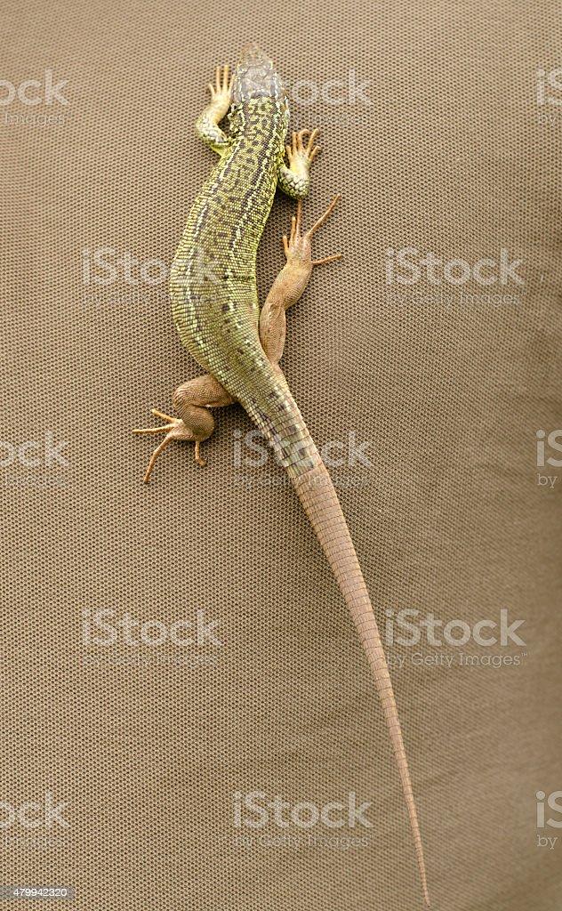 Green lizard walking on brown fabric stock photo