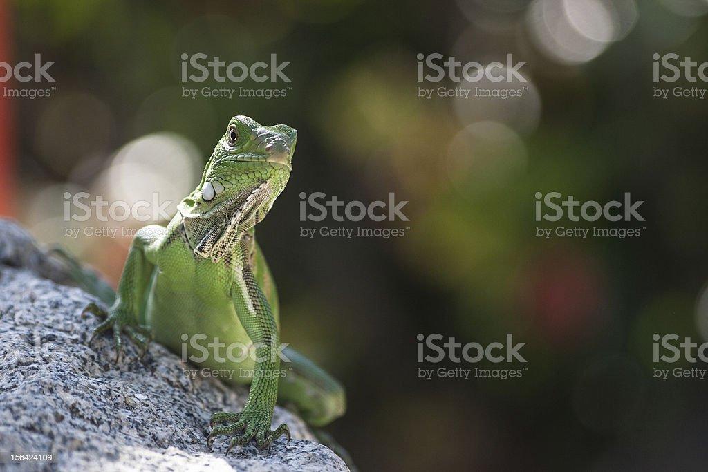 Green Lizzard royalty-free stock photo