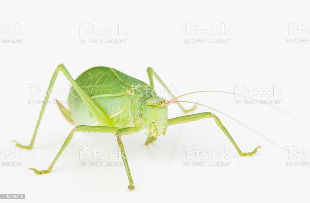 Green long-horned grasshopper stock photo