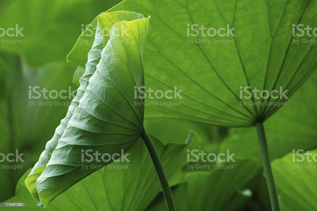 Green lotus leaves royalty-free stock photo