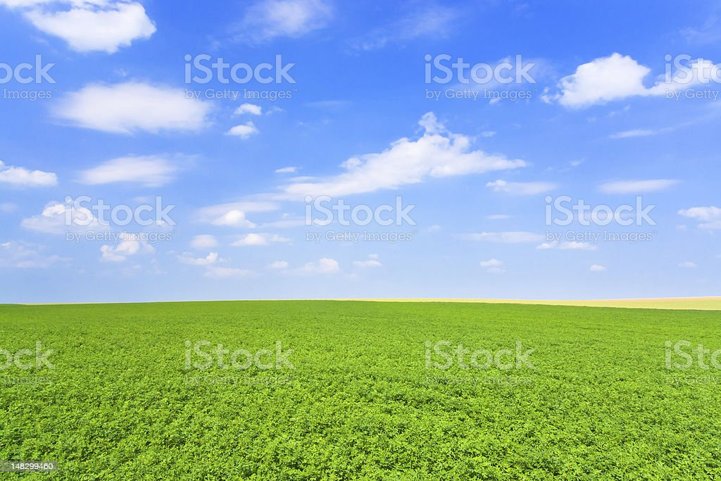 green lucerne field blue sky stock photo