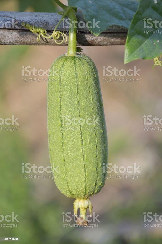 green Luffa cylindrica stock photo