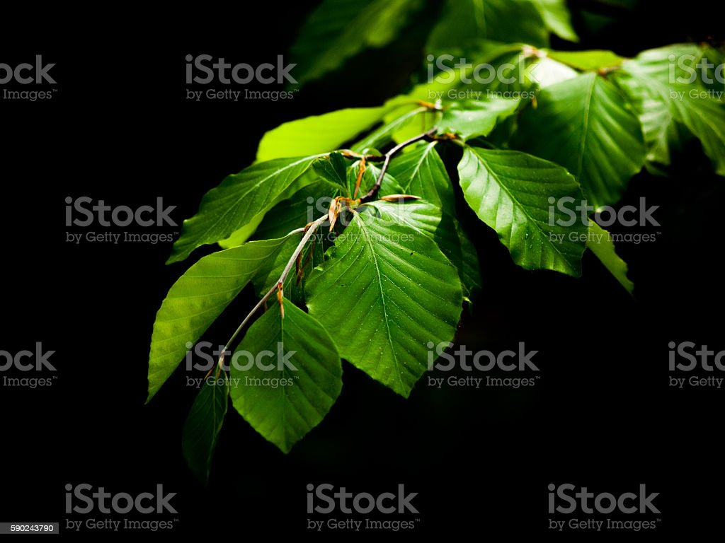 Green lush beech leaves on dark background stock photo
