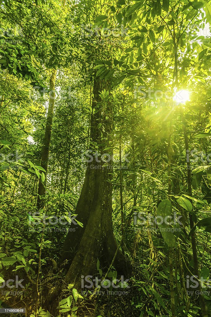 Green Lush Rainforest and Sun royalty-free stock photo